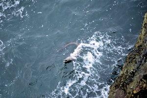 Conger am Culoo Rock auf Valentia Island